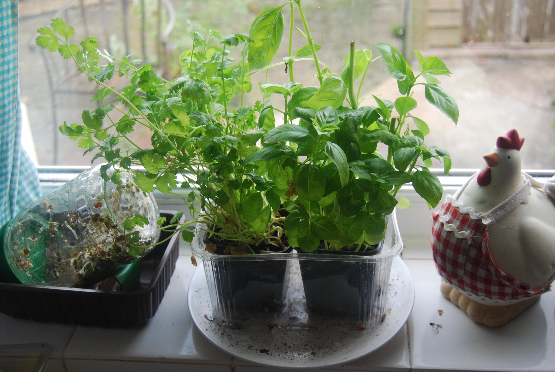 Kitchen Windowsill Herb Garden A Garden On My Kitchen Window Sill Veghotpot