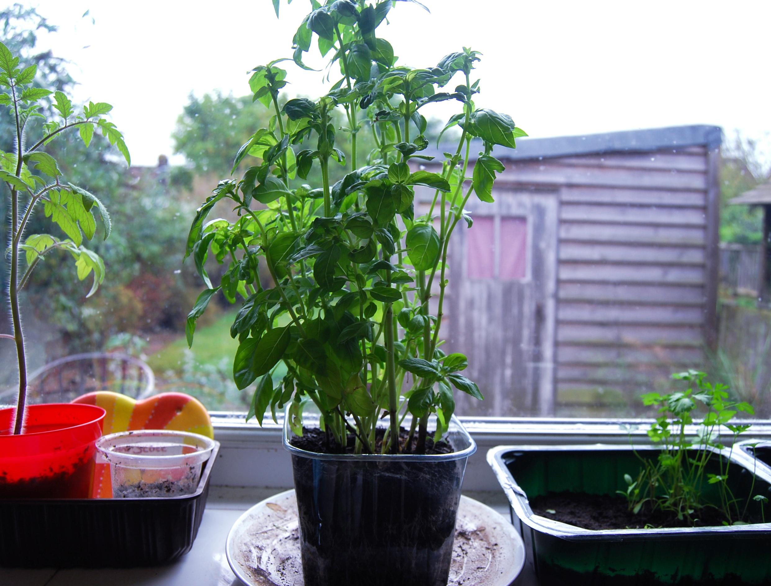Kitchen Windowsill Herb Garden The Kitchen Window Sill Update And Some Advice Needed Veghotpot